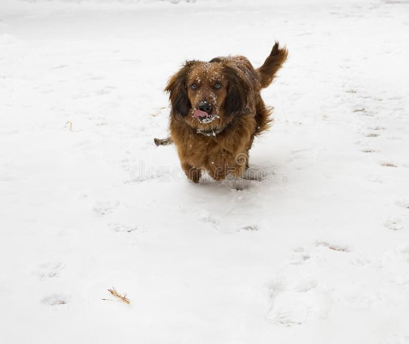 Top Spaniel Canine Adorable Dog - tax-winter-good-dog-friend-person-pet-animal-snow-setter-golden-canine-cute-puppy-retriever-brown-irish-red-white-112279259  Snapshot_514433  .jpg