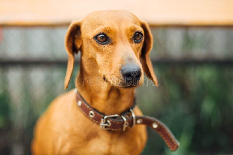 Taxhund i utomhus- Härligt taxsammanträde i wen royaltyfria bilder