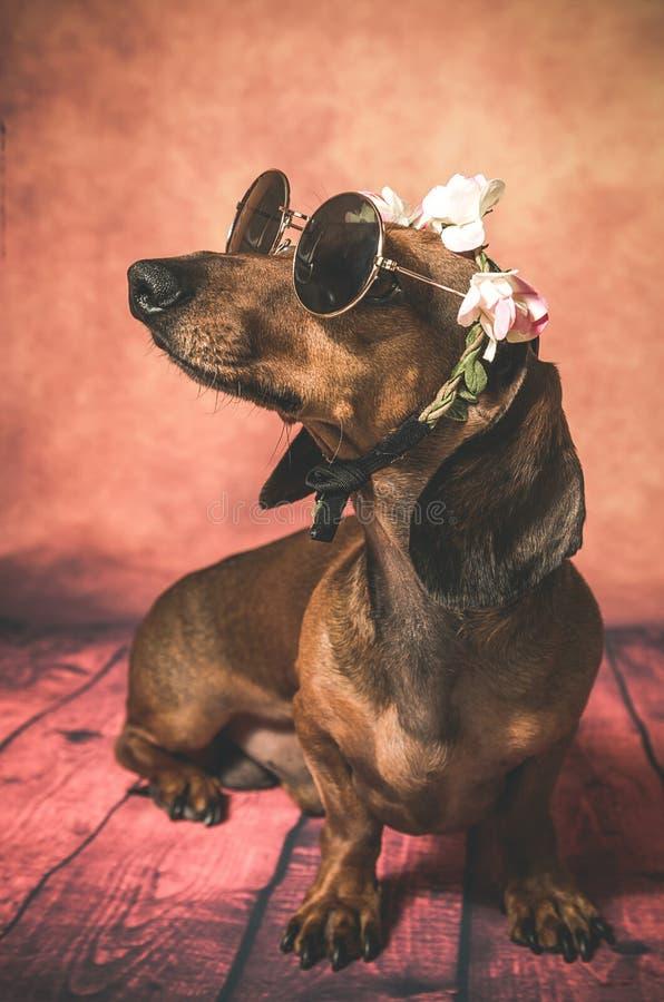 Taxhund med solglasögon och blommor på hennes huvud royaltyfri bild