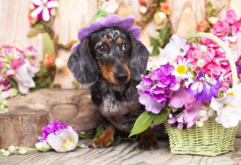 Taxhund och blommor royaltyfri fotografi