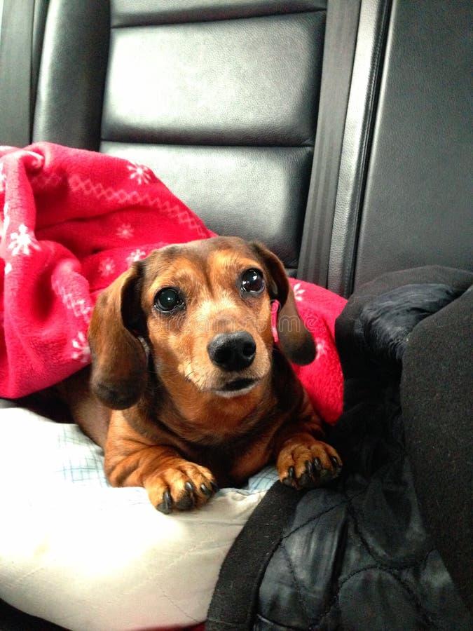 Taxhund som ligger i säng royaltyfri bild