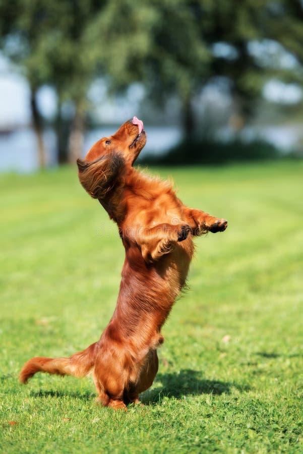 Taxhund som utomhus poserar arkivbilder