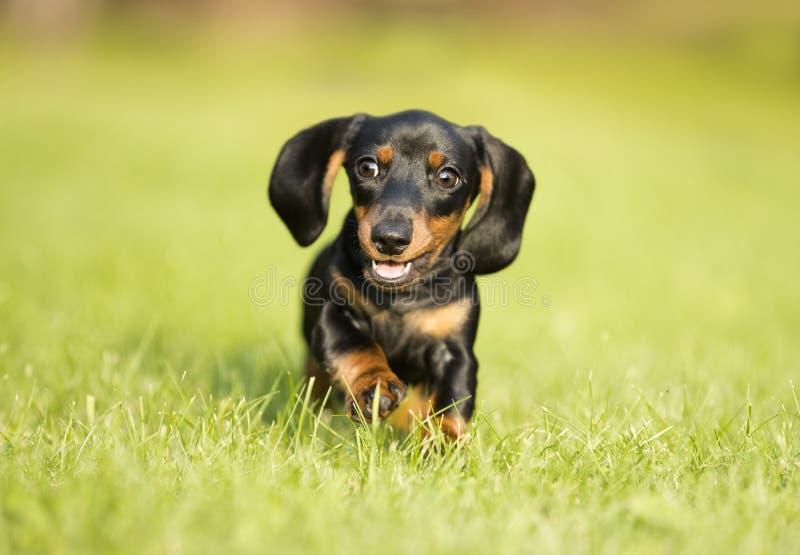Taxhunden hoppar det gröna gräset royaltyfri foto