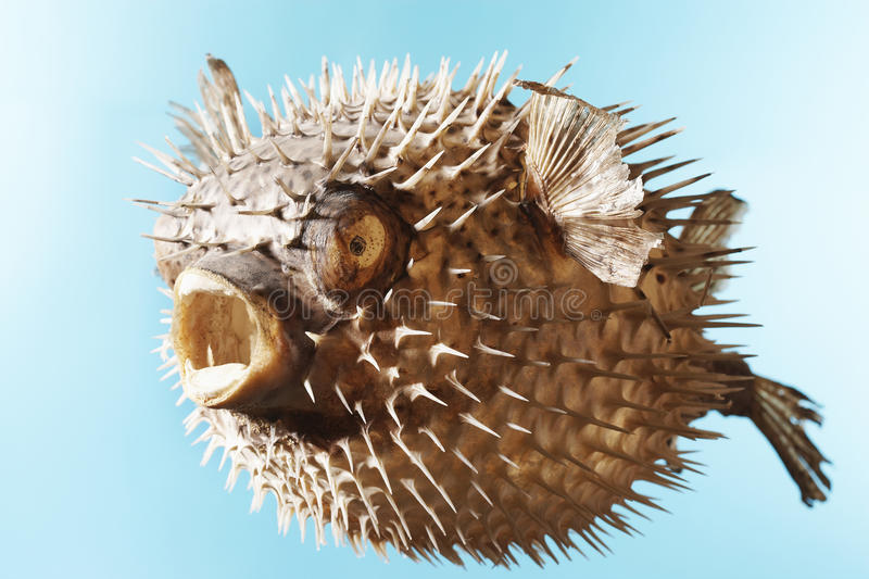 Taxidermal blåste upp Pufferfisken royaltyfri foto
