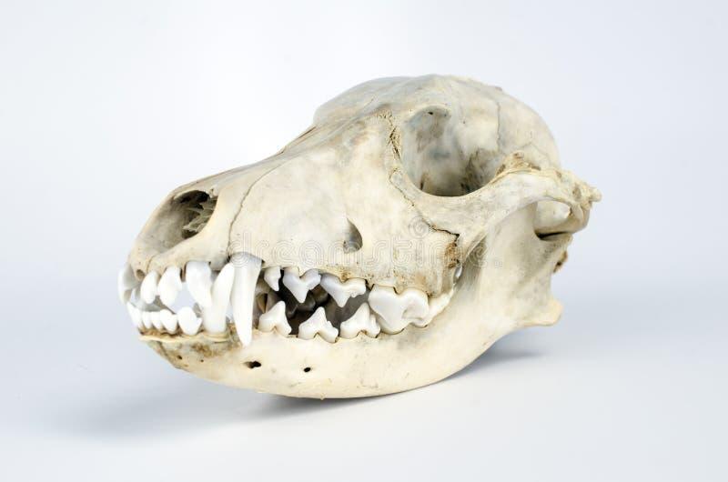 Taxidermia del cráneo del coyote imagenes de archivo