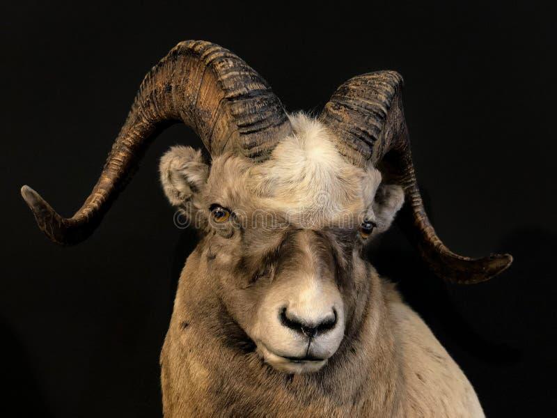 Taxidermie van Mouflon de Wilde Schapen royalty-vrije stock afbeelding