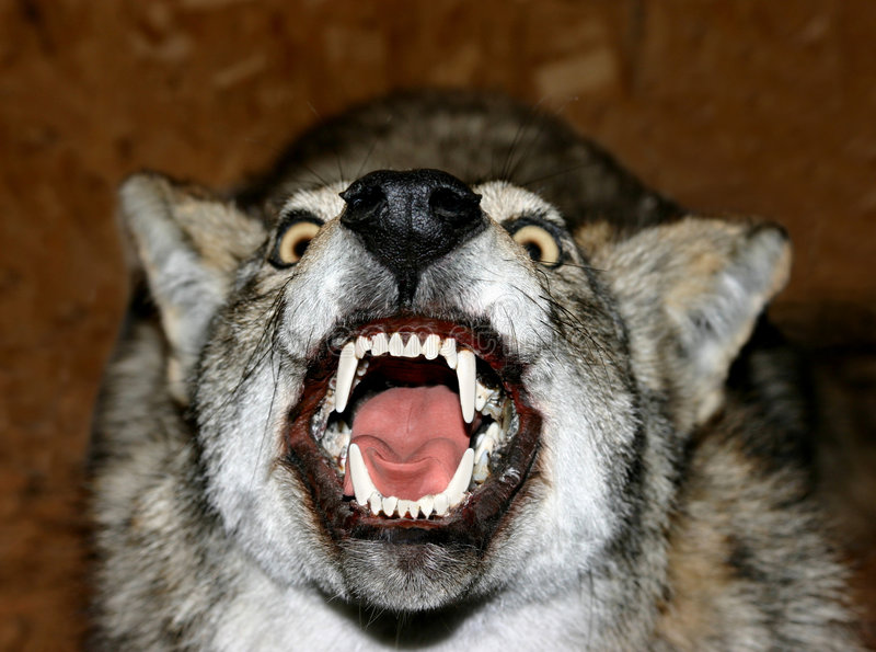 Download Taxidermists wolf stock image. Image of canine, teeth, dangerous - 12913