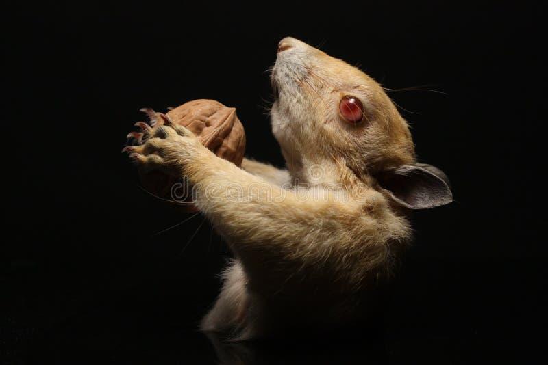 Taxidermy d'écureuil images stock