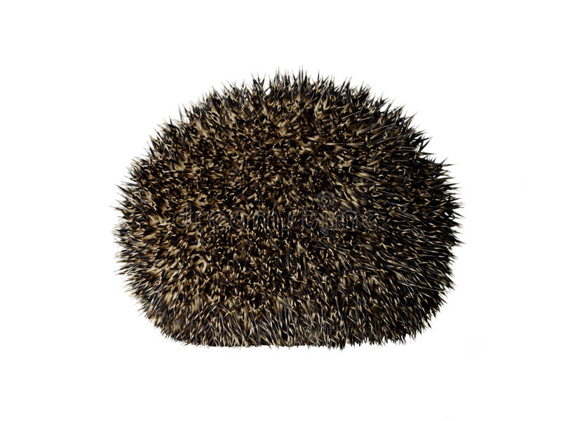 Taxidermy Hedgehog rolled in a ball stock image