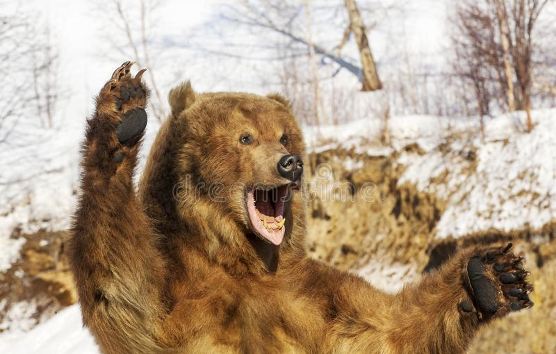 Taxidermy of a Kamchatka brown bear in forest royalty free stock photo