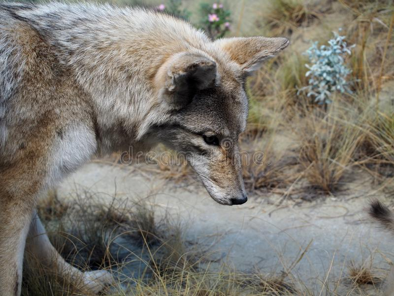 Taxidermy Mount Of A Coyote Or Canis Latrans royalty free stock photo