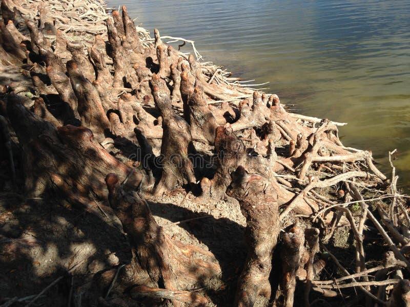 Taxodium Distichum ; Cypress chauve ; Genoux et racines d'arbre à côté de l'eau image stock
