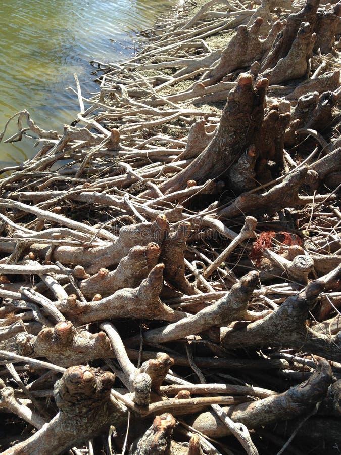 Taxodium Distichum ; Cypress chauve ; Genoux et racines d'arbre à côté de l'eau photos stock