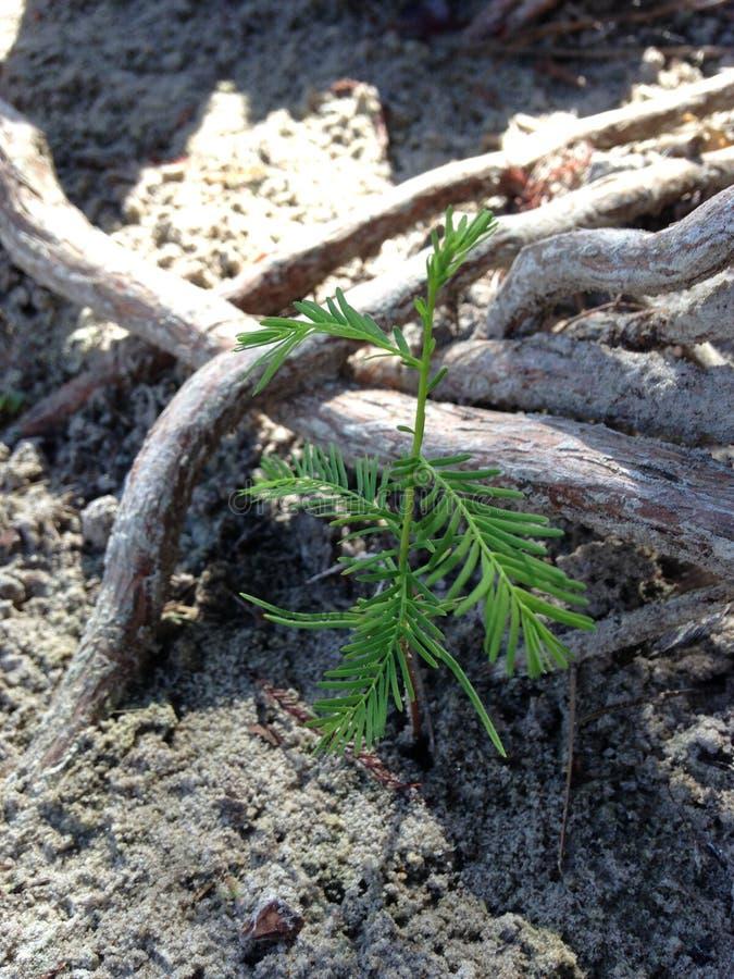 Taxodium Distichum ; Cypress chauve ; Pousse d'arbre s'élevant entre les genoux et les racines à côté de l'eau photos libres de droits