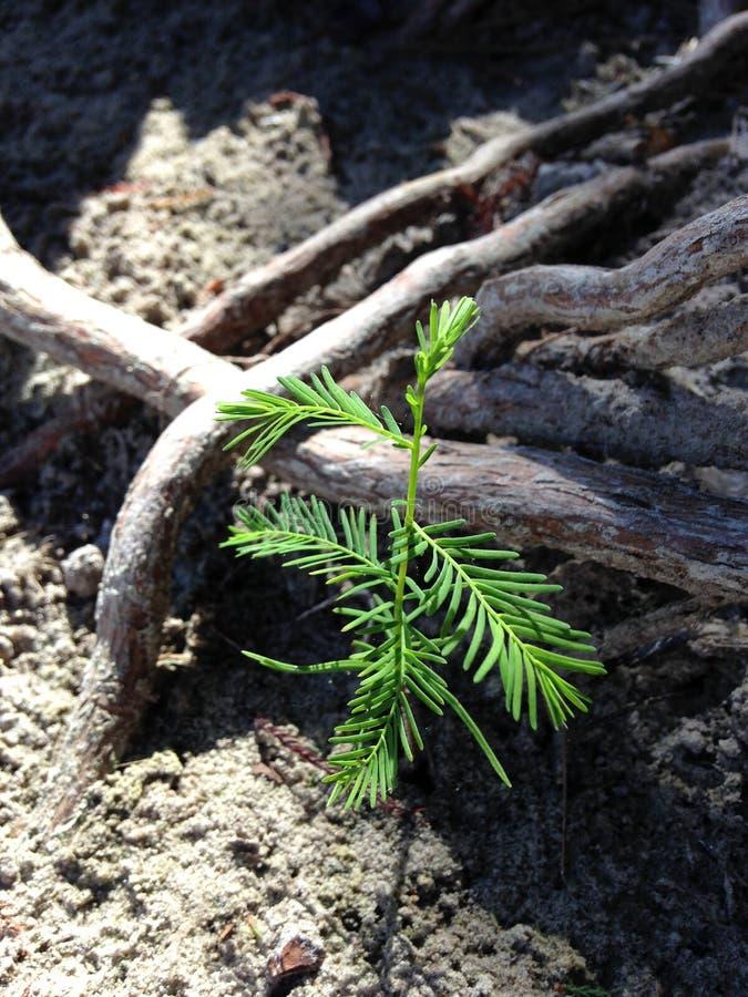 Taxodium Distichum ; Cypress chauve ; Pousse d'arbre s'élevant entre les genoux et les racines à côté de l'eau image libre de droits