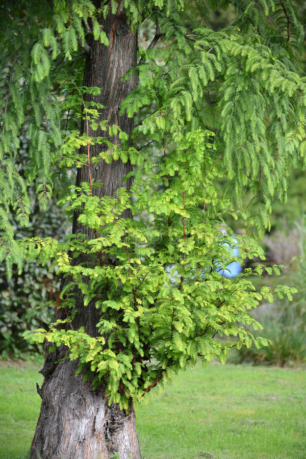 Taxodium distichum L di doppio fila di Taksodium del cipresso della palude ricco con le giovani fughe fotografia stock libera da diritti