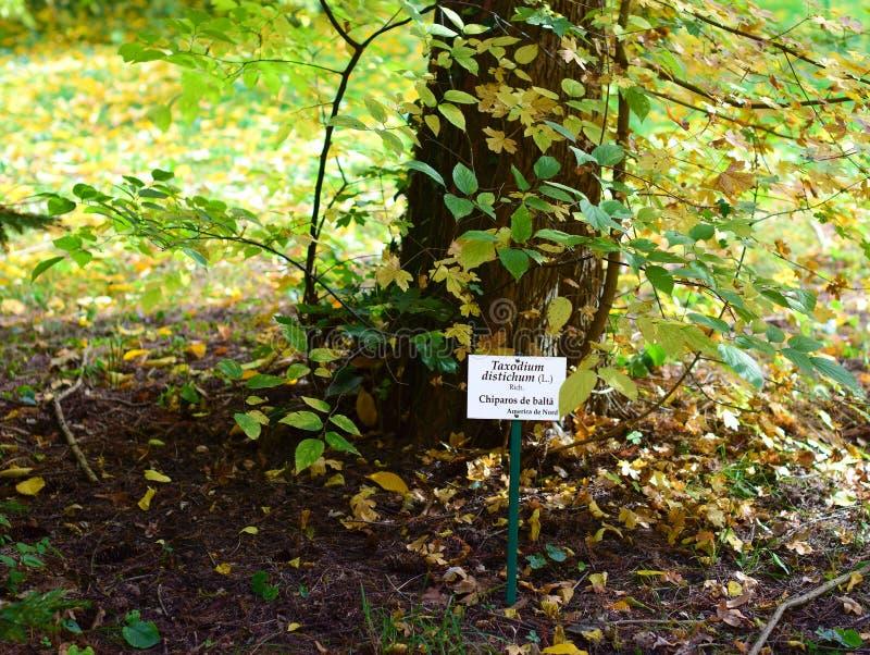Taxodium distichum Tree at botanical garden royalty free stock image