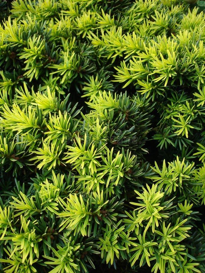 Taxus stockbilder