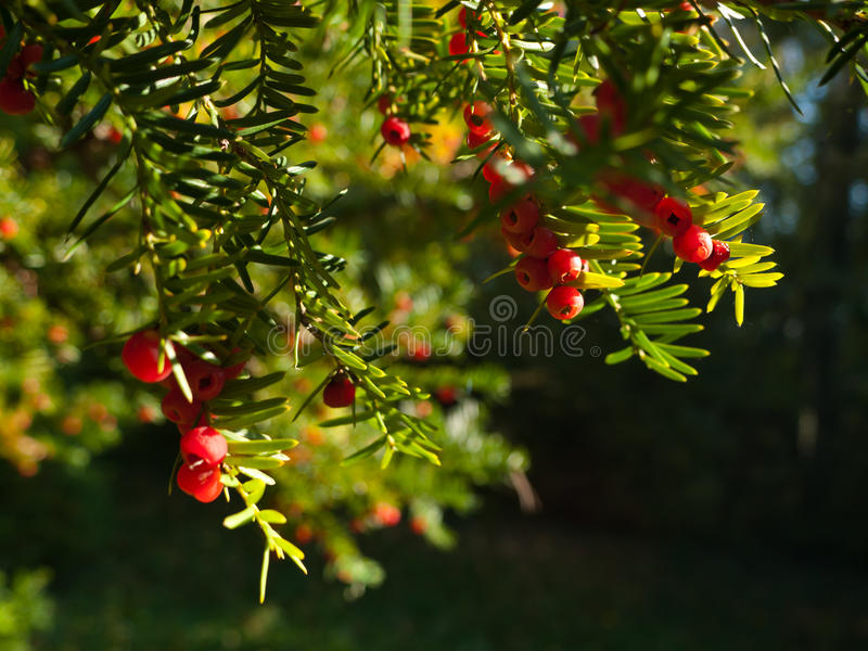 Taxus baccata royalty free stock photos