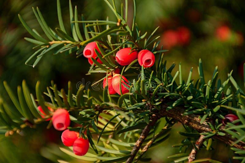 Taxus baccata fotografia stock