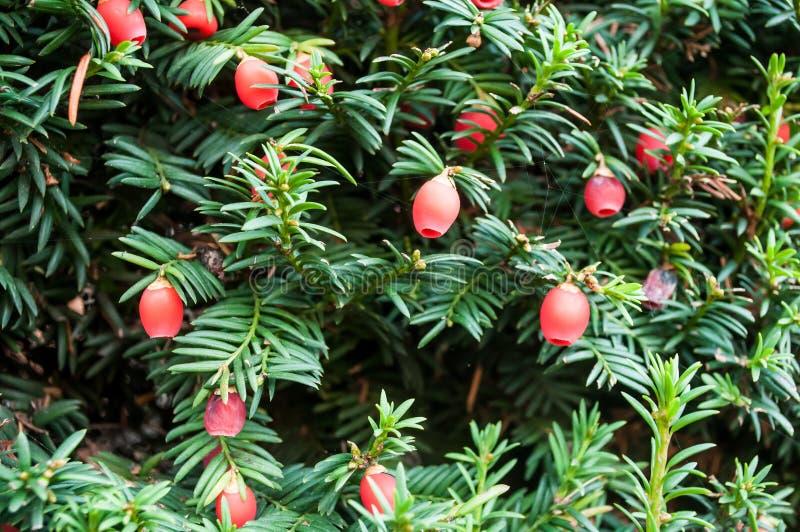 Taxus baccata drzewo z czerwonymi jagodami zdjęcia royalty free