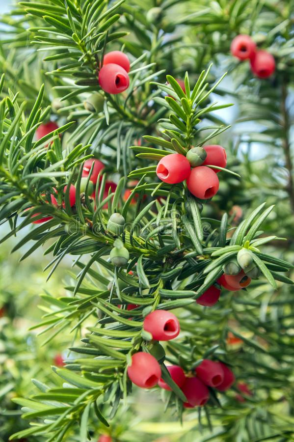 Taxus baccata European yew is conifer shrub with poisonous and bitter red ripened berry fruits royalty free stock image