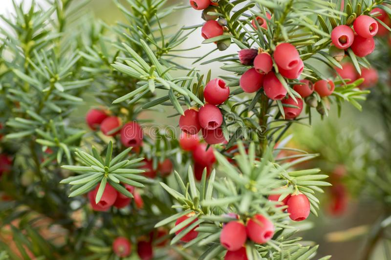 Taxus baccata European yew is conifer shrub with poisonous and bitter red ripened berry fruits royalty free stock photo