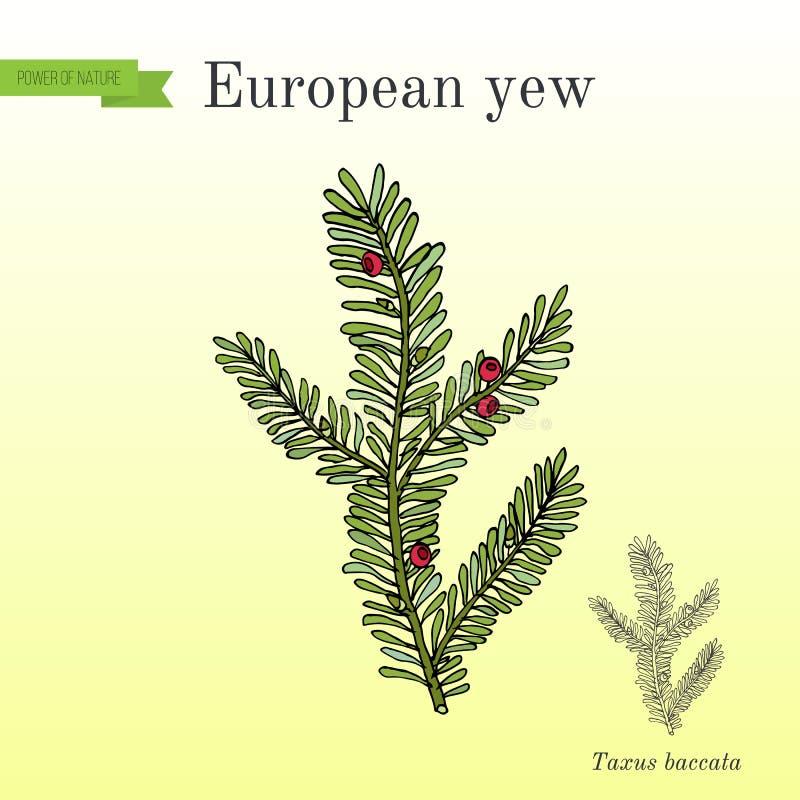 Taxus baccata europeo del tasso, pianta tossica illustrazione di stock