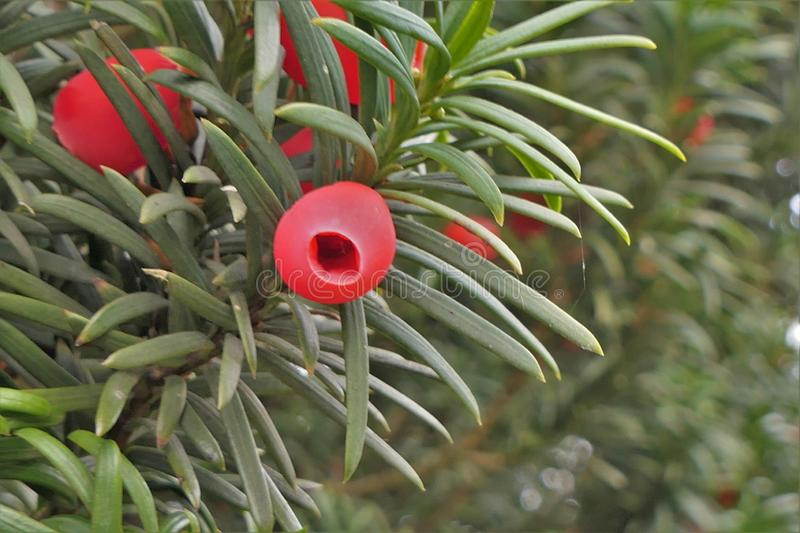 Taxus Baccata, Yew berries stock photos