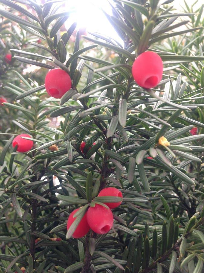barrträd med röda bär