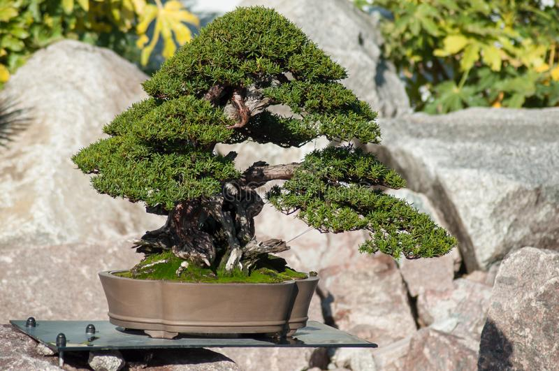 Taxushoutbonsai in een Japanse tuin stock afbeeldingen