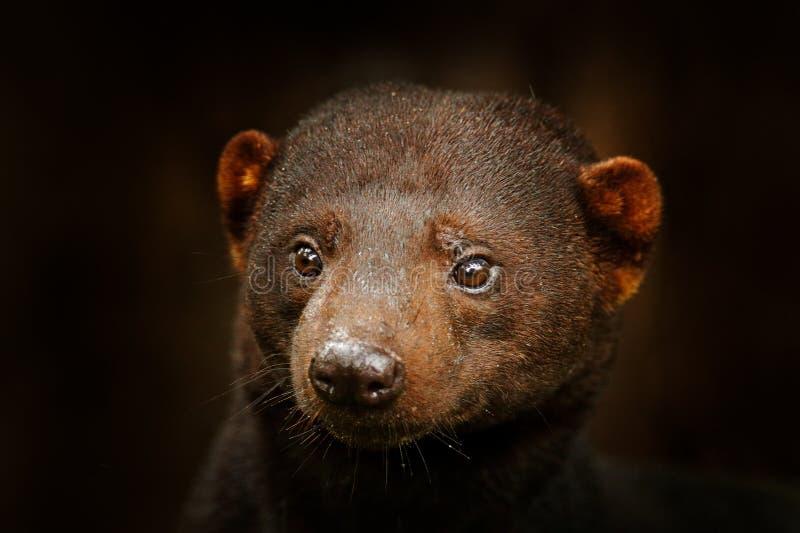 Tayra,Eira巴巴拉,从狡猾的人家庭的无所不吃动物 在热带森林掩藏的Tayra,细节特写镜头画象 r 免版税库存图片