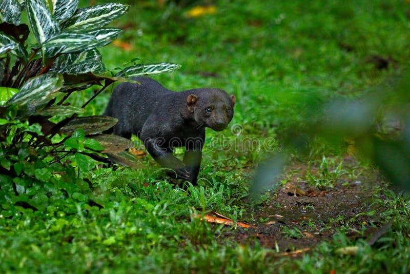 Tayra, Eira Barbara, alleseter van de wezelfamilie Tayra die in tropische bos het Wildscène wordt verborgen van aard, Costa stock foto