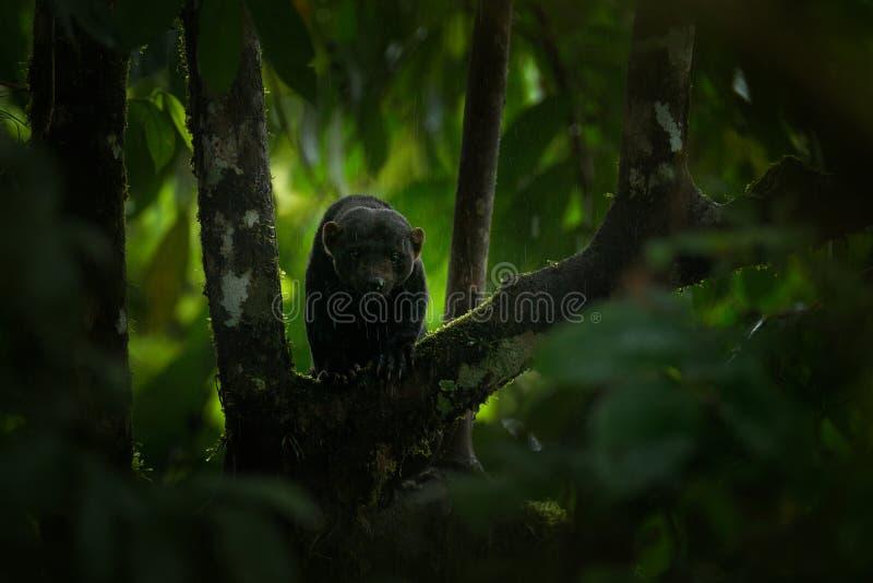 Tayra, Eira Barbara, alleseter van de wezelfamilie Tayra in tropisch bos wordt verborgen, die op de groene boom zitten die wildli royalty-vrije stock foto
