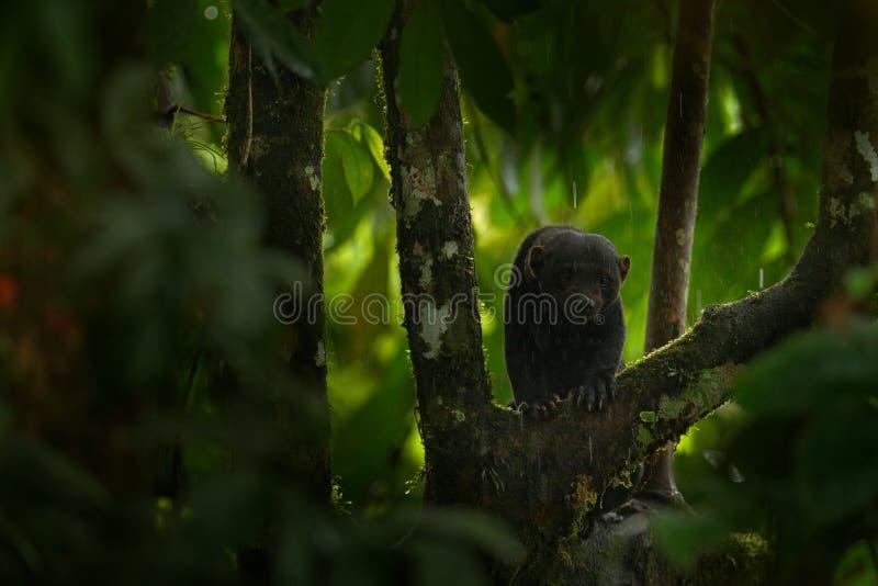 Tayra, Eira Barbara, alleseter van de wezelfamilie Tayra in tropisch bos wordt verborgen, die op de groene boom zitten die wildli stock fotografie