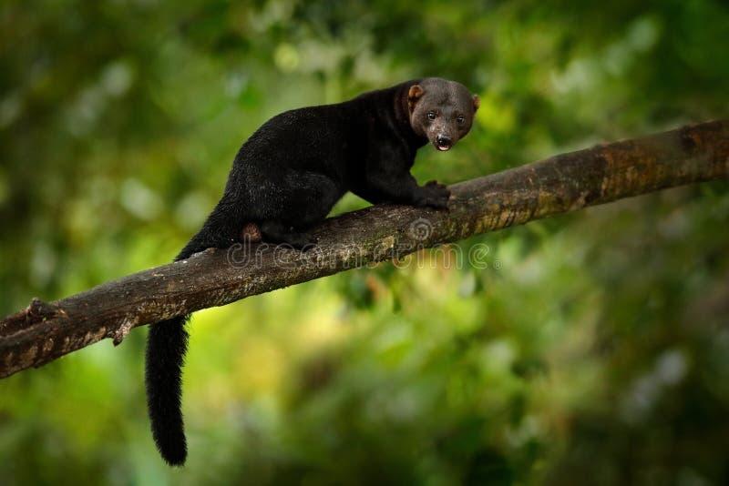 Tayra, Eira Barbara, alleseter van de wezelfamilie Tayra in tropisch bos wordt verborgen, die op de groene boom zitten die wildli stock foto