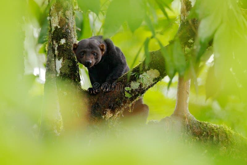 Tayra, Eira Barbara, alleseter van de wezelfamilie Tayra in tropisch bos wordt verborgen, die op de groene boom zitten die wildli stock foto's