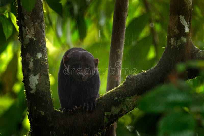 Tayra, Eira Barbara, animal omnivore de la famille de belette Tayra cach? dans la for?t tropicale, se reposant sur l'arbre vert f photo libre de droits