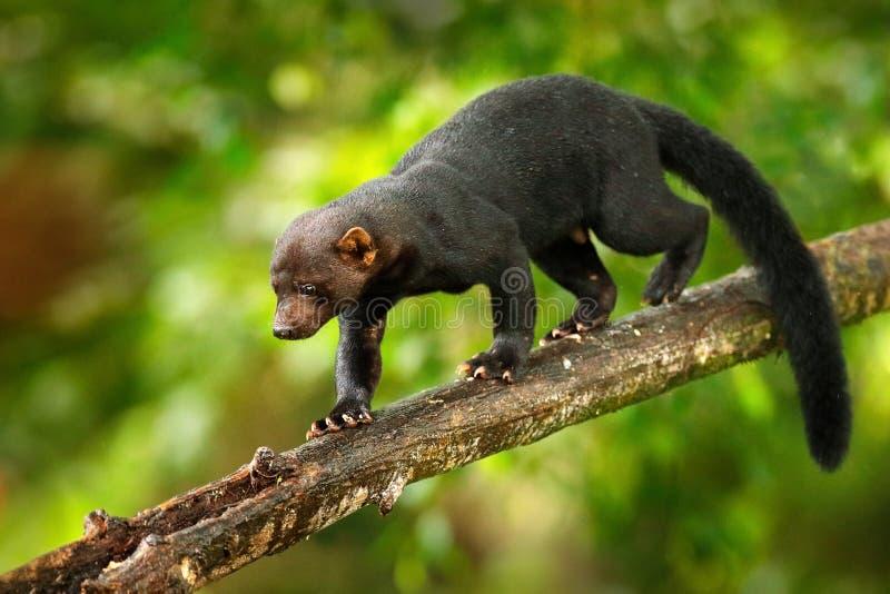 Tayra, Eira Barbara, animal omnivore de la famille de belette Tayra cach? dans la for?t tropicale, se reposant sur l'arbre vert f image stock