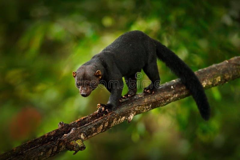 Tayra, Eira Barbara, animal omnivore de la famille de belette Tayra cach? dans la for?t tropicale, se reposant sur l'arbre vert f photographie stock