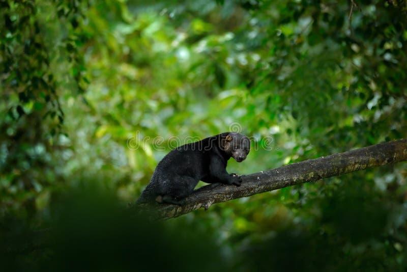 Tayra, pequeño depredador en el bosque tropical Tayra, Eira barbara, animal omnívoro de la familia de la comadreja Mamífero ocult imagen de archivo libre de regalías