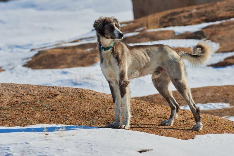 Tazyen, eller den centrala asiatiska vinthunden, eller Kazakhvinthunden eller den turkmenska vinthunden, är en avel av jakthundka arkivfoton