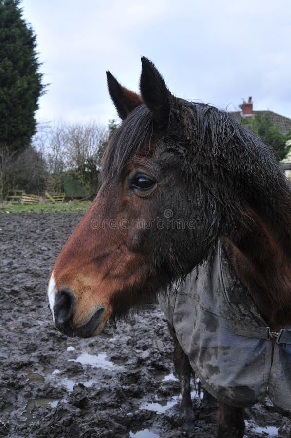 TB koń w śródpolnym Thoroughbred zdjęcie royalty free