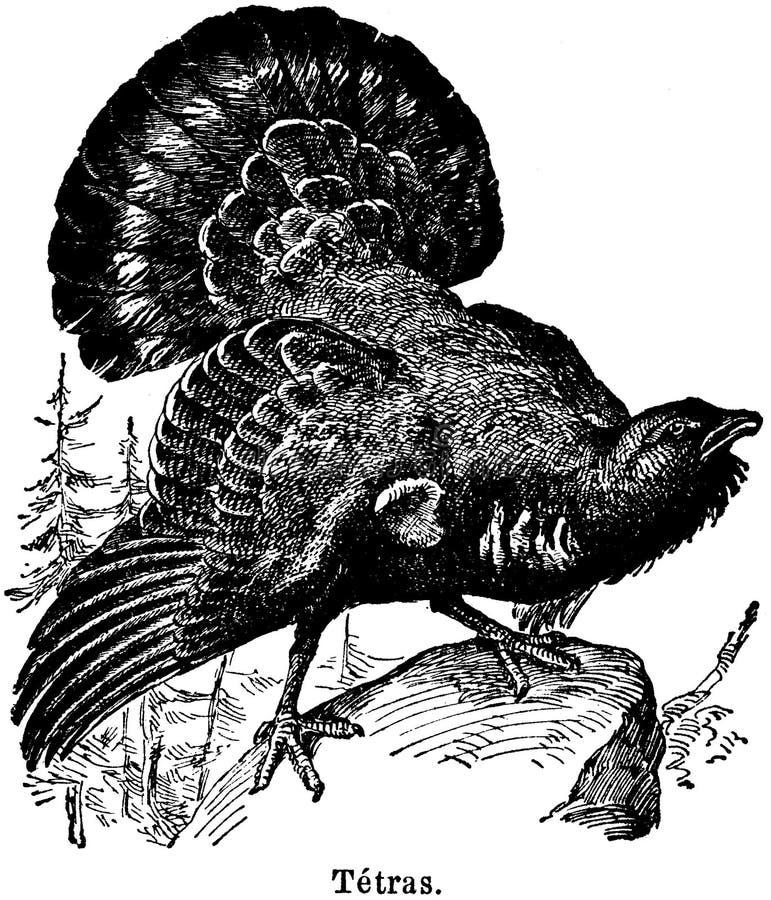 Tétras Free Public Domain Cc0 Image