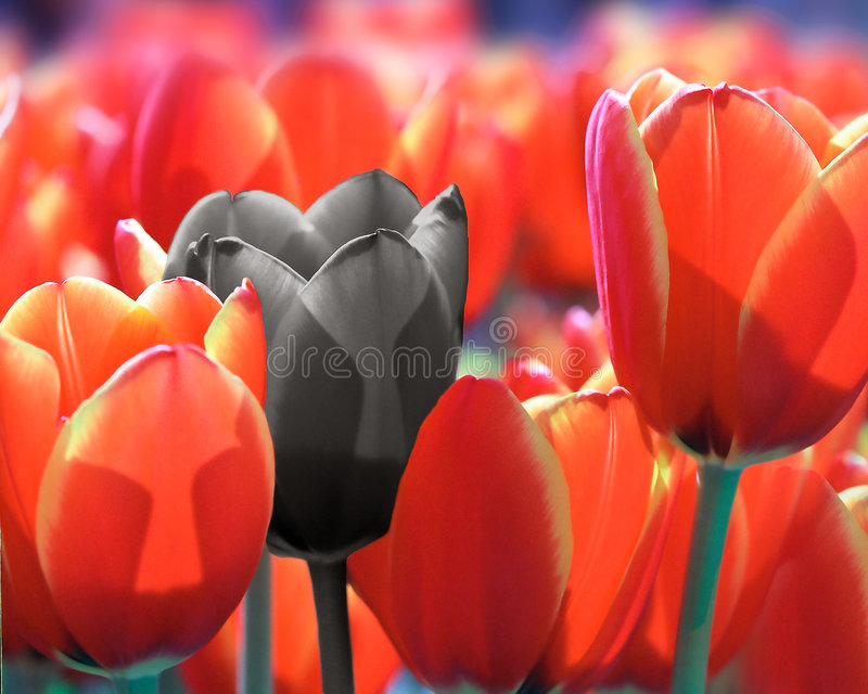 te czerwone black zdjęcie royalty free