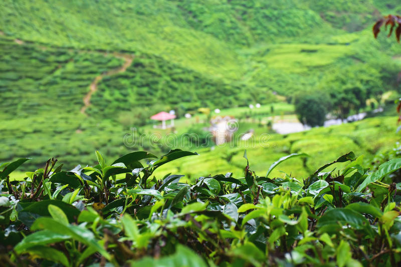 tea agriculture stock photo