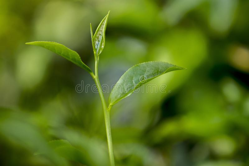 2 Tea bud and leaves on Moulovibazar, Bangladesh. The shape of the leaf, and the color. The shape varies for different kinds of tea. Tea bud and leaves at stock image