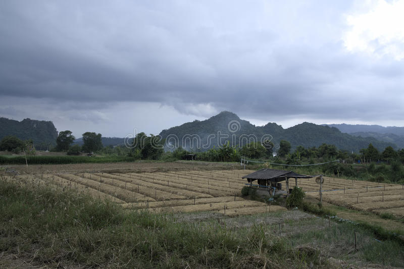 Tea cha field in thailand with rainstorm approaching stock image