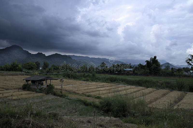 Tea cha field in thailand with rainstorm approaching stock photography