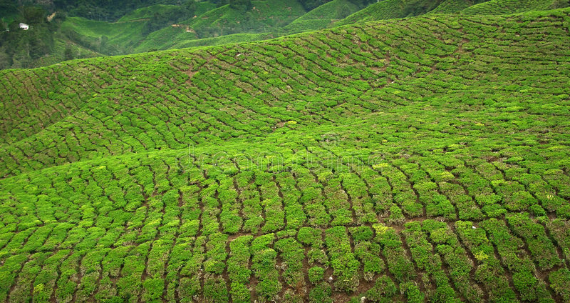 Tea crop in Cameron Highlands, Malaysia stock images
